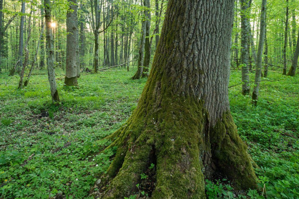 Arbre remarquable au petit matin dans la réserve de Debowy Grad, forêt de Białowieża, Pologne