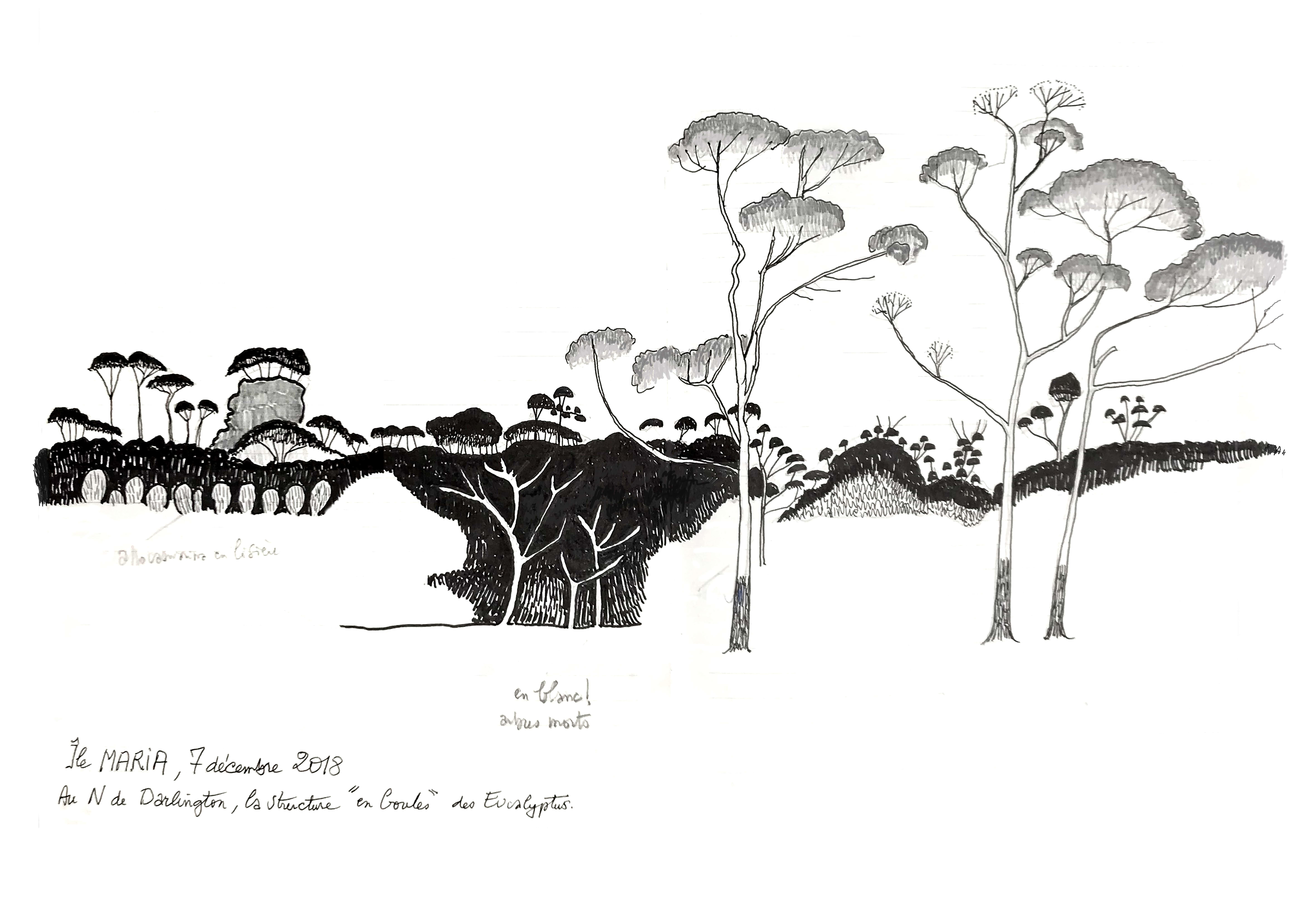 dessin de Francis Hallé datant de 2018 représentant des Eucalyptus