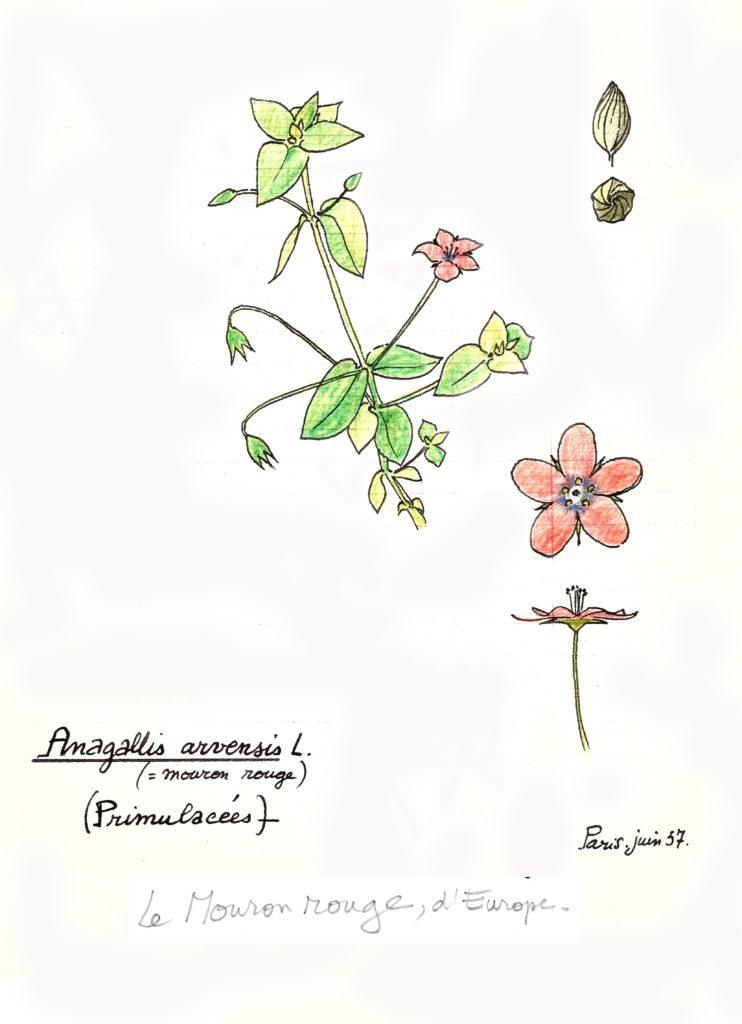 dessin de Francis Halle datant de juin 57